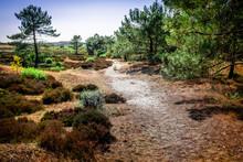 Schoorlse Duinen, An Area Covered With Forests And Dunes Between Schoorl And Bergen In The Netherlands.