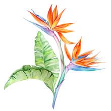 Watercolor Tropical Flowers Strelitzia