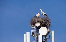 White Stork Nesting On A Cell Tower, Ignoring The Danger Of Radiation