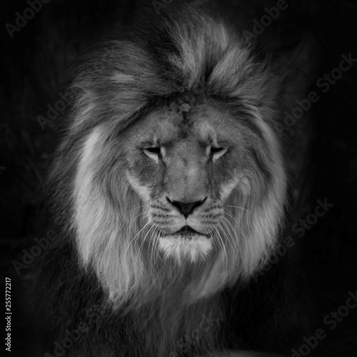 Fototapety, obrazy: Portrait of a gorgeous Male Lion against black background