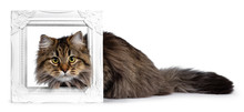 Cute Friendly Classic Tabby Siberian Cat Kitten With Amazing Fur, Layingwith Head Through White Photo Frame. Looking Curious At Camera With Big Yellow Eyes. Isolated On White Background.