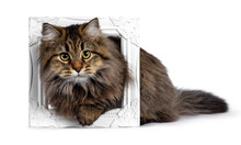 Cute Friendly Classic Tabby Siberian Cat Kitten With Amazing Fur, Laying Through White Photo Frame. Looking Curious At Camera With Big Yellow Eyes. Isolated On White Background.