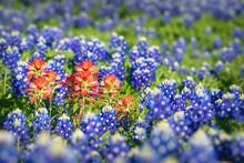 Indian Paintbrush Wildflowers ...