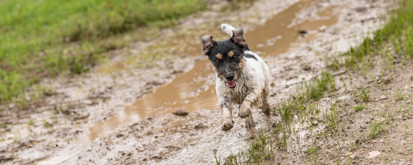 Panel Szklany Pies jack russell terrier dog is running fast over a wet dirty path