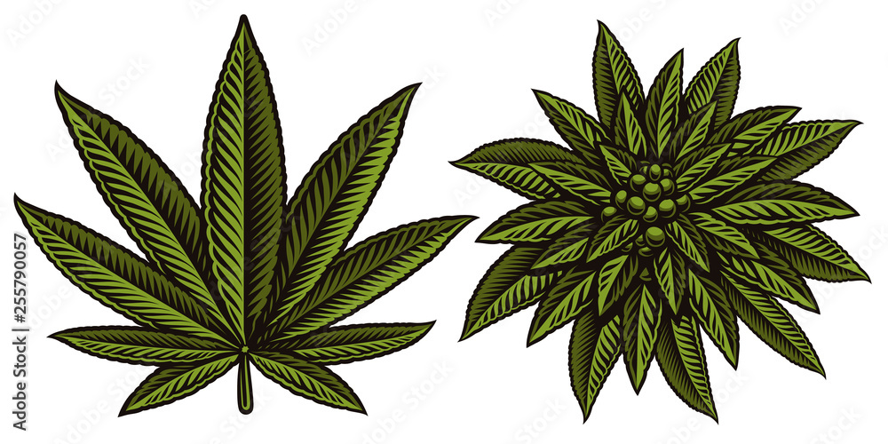 Fototapety, obrazy: Vector illustration of cannabis leafs.