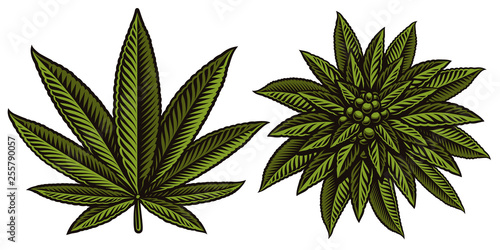 Vector illustration of cannabis leafs. Tablou Canvas