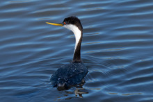Western Grebe, Seen In A North...