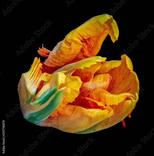 Fotografía  Still life bright colorful macro portrait of a single isolated parrot tulip blos