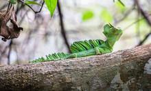 Green Basilisk (Basiliscus Plu...