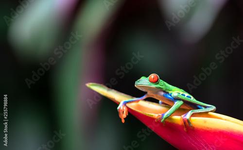Foto op Canvas Kikker Red-eyed tree frog (Agalychnis callidryas) resting on a heliconia flower.