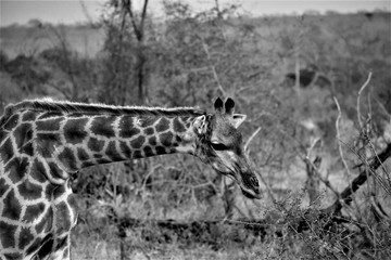 Żyrafa B&W