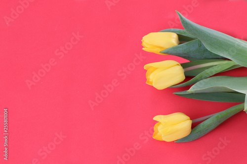 Foto auf AluDibond Tulpen Close-up - yellow tulip on a red background