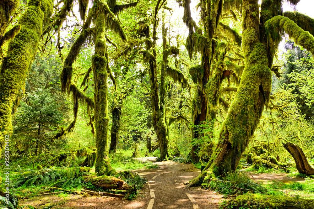 Fototapeta Path through moss covered trees in Hoh Rain Forest, Olympic National Park, Washington, USA