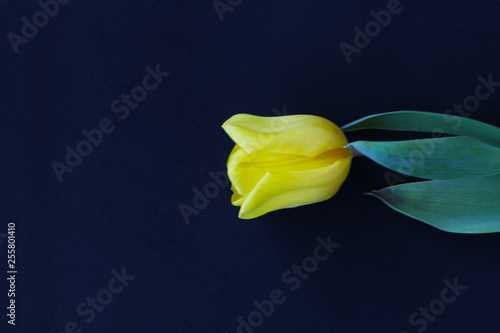 Foto auf AluDibond Tulpen Close up - yellow tulip on black background