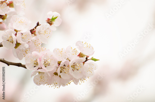 Fotobehang Kersenbloesem Apricot blooming in the garden. Beautiful spring seasonal background good for greeting card, wedding invitation, web.