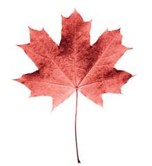 Liść klonowy różowy lub colar pojedyncze białe tło. Piękny jesień liść klonowy odizolowywający na bielu. Spadek liści