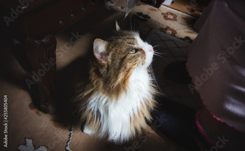 Domestic long haired cat on the carpet looking up at owner Fototapet