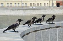 Gray Ravens (lat. Corvus Cornix) Sitting On The Parapet Near The River