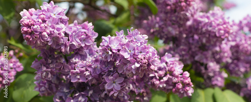 Foto op Canvas Hydrangea Spring branch of blossoming lilac, banner, postcard concept