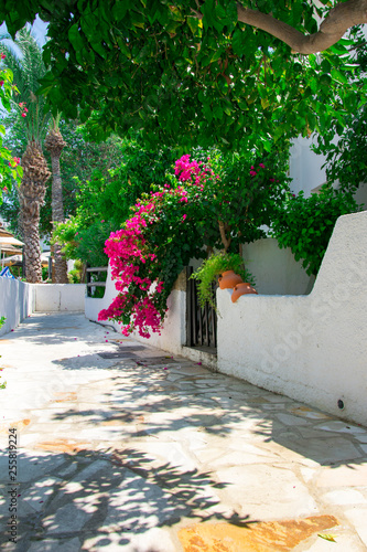 Canvas Bougainvillaea blooming bush with white and pink flowers on a stone white fence