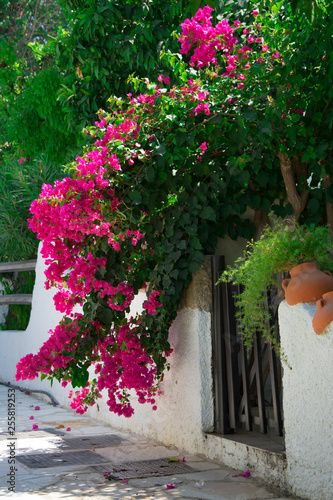 Canvastavla Bougainvillaea blooming bush with white and pink flowers on a stone white fence
