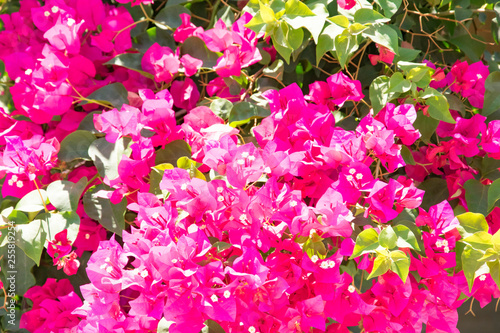 Vászonkép Bougainvillaea blooming bush with white and pink flowers, summer