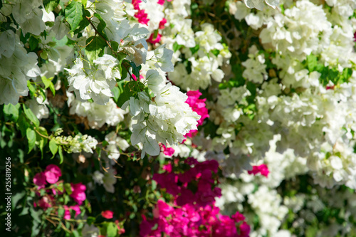 Fotografija Bougainvillaea blooming bush with white and pink flowers, summer