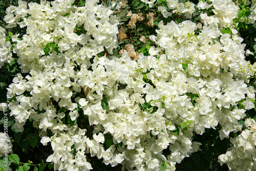 Slika na platnu Bougainvillaea blooming bush with white and pink flowers, summer