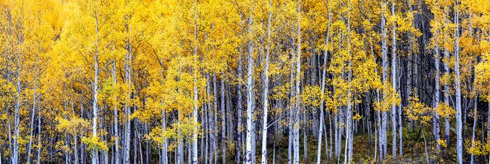 Fototapeta Las Autumn Aspen scenery on the Million Dollar Highway - Colorado Rocky Mountains