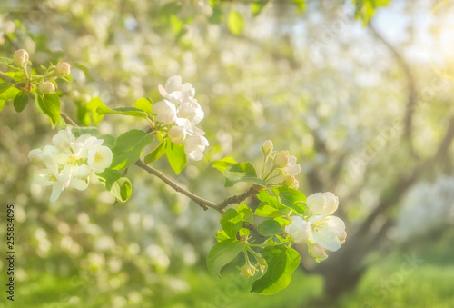Fotografie, Obraz  Close-up of a blossoming apple tree branch on a sunny spring day