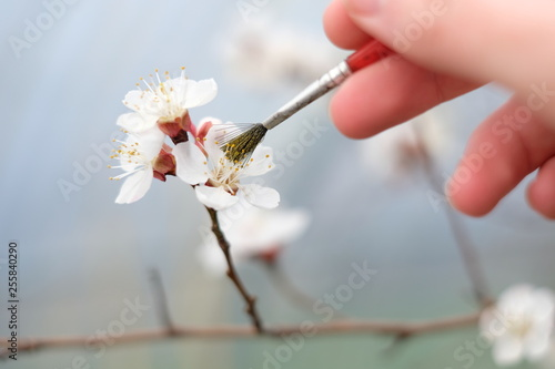 Canvas Print Close-up of a manual pollination of an apricot blossom on a branch using a paint
