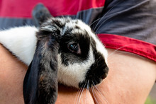 A Black And White Lop Eared Do...