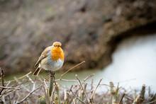 A Lightly Puffed Up English Robin Redbreast With Bright Orange Chest Perches On A Bare Hedge In Front Of A Thatched Roof In Winter