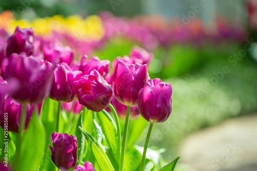 Purpurowy tulipanowy kwiatu ogród