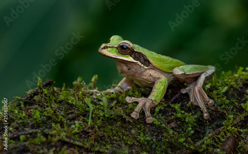 Poster Kikker Masked Tree Frog in Costa Rica