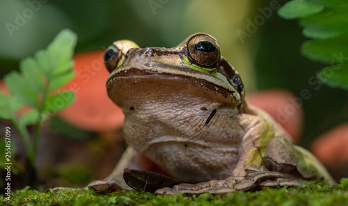 Masked Tree Frog in Costa Rica