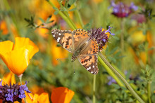 A Painted Lady Butterfly Is Shown On A Flower During Springtime Migration Through Southern California, USA.