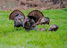 Two Male Wild Turkeys Struttin...