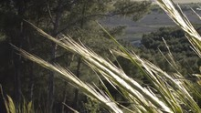 Sunny Sprigs Gently Blowing To The Breeze On A Pine Tree Forest Background.
