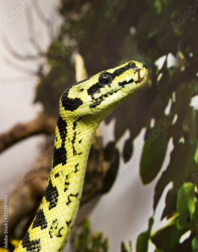 Carpet Python The Snake Average Size About Two Meters It Inhabits Subtropical Forests Near Rivers In Australia And New Guinea Pythons Feed On Small Mammals And Birds Reproduce By Laying Eggs