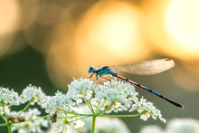 Dragonfly Sitting On White Flowers