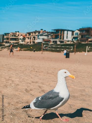 Fotografia, Obraz  Albatross or Seagull walking on the sand on the beach of Los Angeles