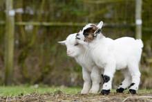 Goat Kids Standing On Meadow