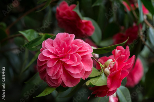 Canvas Close-up of a beautiful blooming pink Camellia japonica (also known as common camellia or Japanese camellia) 'Palazzo Tursi', a flowering tree or shrub