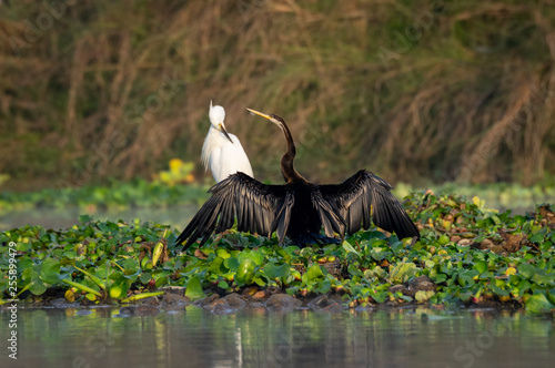 Darter or Snakebird or the Plotus anhinga Spreading its Wings Canvas Print