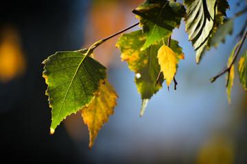 Jesienią liście brzozy