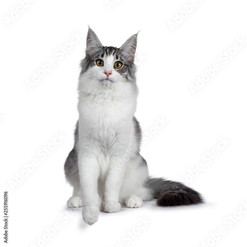 Cute Black Silver Bicolor Spotted Tabby Norwegian Forest Cat Kitten Sitting Up Facing Front Looking At Camera With Green Yellow Eyes Isolated On White Background Tail Beside Body Buy This
