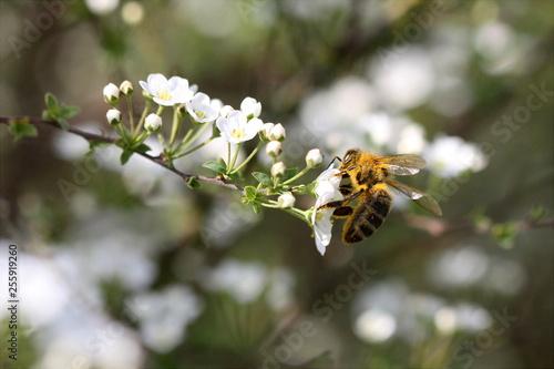 Leinwand Poster Biene / Honigbiene mit Blütenstaub