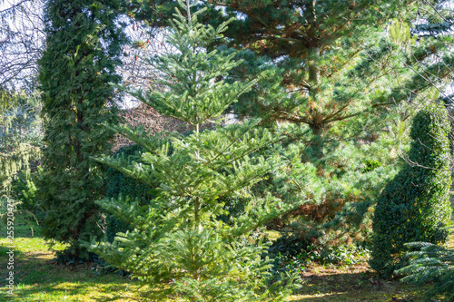 Foto op Canvas Weg in bos Young korean fir Abies koreana against the background of Thuja occidentalis Columna, Japanese pine Pinus parviflora Glauca in well-groomed garden. Beautiful natural evergreen background.