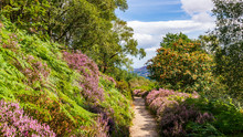 Hiking Path Through Lush Purple Heather And Fern On A Warm Sunny Summer Day.  Wicklow Mountains Way Trail Through Thick Vegetation Towards Maulin Peak In Wicklow Mountains, Ireland.